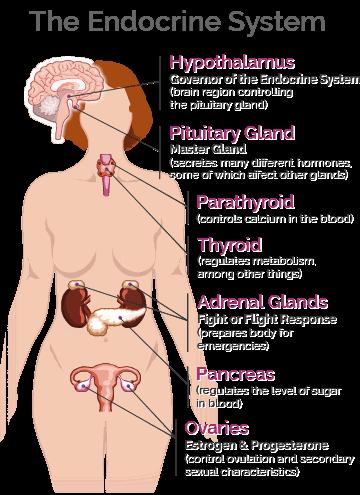 macafem endocrine system